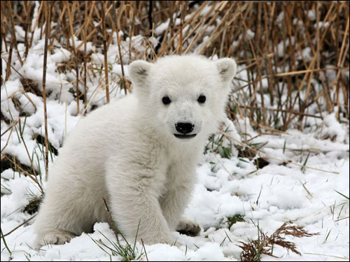 Knut the cute baby polar bear