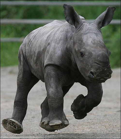 Graceless Rhino
