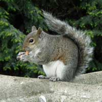 A squirrel in West Brompton cemetery