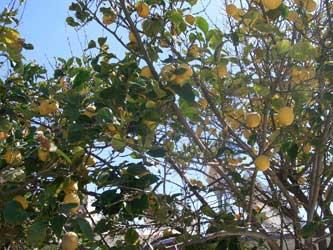 Lemons in Chania