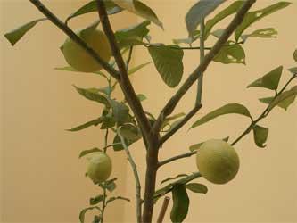 Lemons on our tree