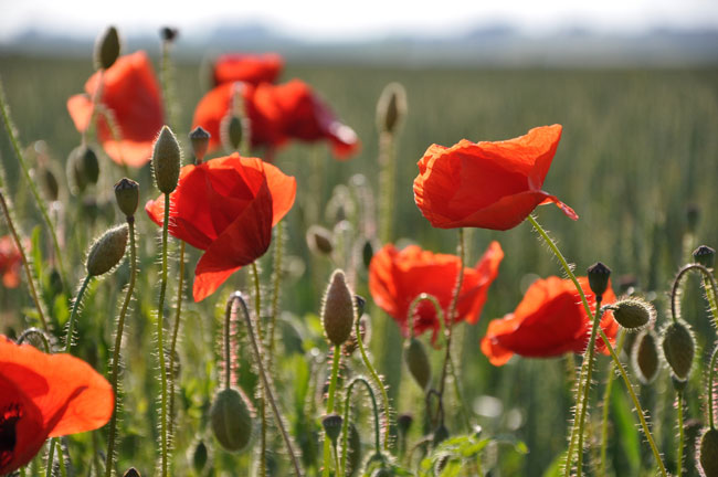 Poppies by Cwasteson from Flickr